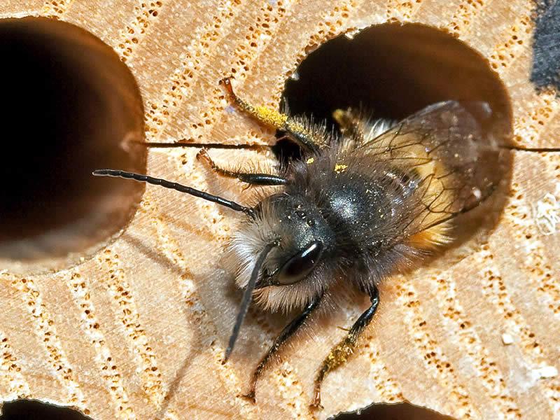 mauerbiene kaufen