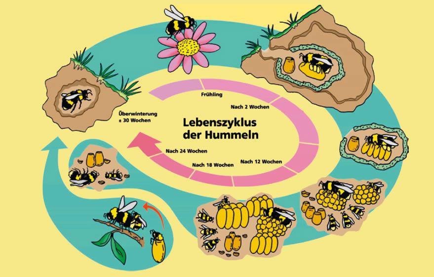 Natürliche Bestäubung Biologie Der Hummeln